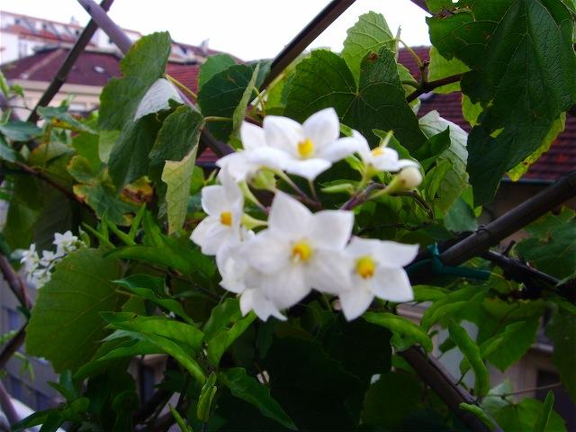 Pianta Con Fiori Bianchi.Solanum Jasminoides Sguardo Nel Verde Torino