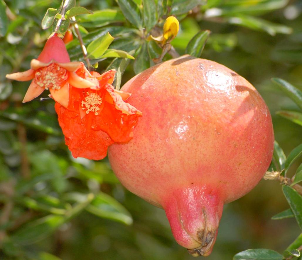 Piante Da Frutto Nane il melograno - pianta da frutto , simbolica e ornamentale