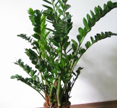 Pianta Da Appartamento Zamiifolia.Piante Da Interni Sguardo Nel Verde Torino